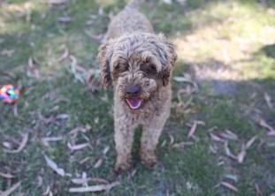 BOBBLES - Bankisa park puppies - 1 of 20 (2)