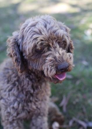 BOBBLES - Bankisa park puppies - 1 of 20 (5)