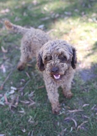 BOBBLES - Bankisa park puppies - 1 of 20 (6)