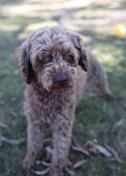 BOBBLES - Bankisa park puppies - 1 of 20