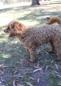 AJ - Bankisa park puppies - 1 of 47 (13)