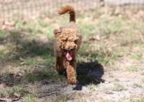AJ - Bankisa park puppies - 1 of 47 (2)