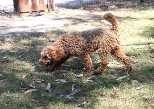 AJ - Bankisa park puppies - 1 of 47 (26)