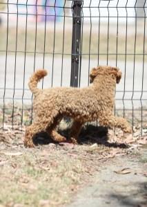 AJ - Bankisa park puppies - 1 of 47 (29)