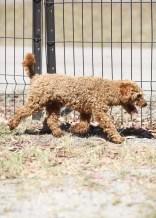 AJ - Bankisa park puppies - 1 of 47 (44)