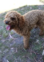 AJ - Bankisa park puppies - 1 of 47 (5)