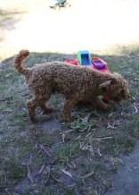AJ - Bankisa park puppies - 1 of 47 (8)