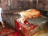 live-export-australian-steer-slaughtered-indonesia