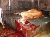 live-export-australian-steer-slaughtered-indonesia