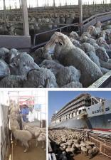 sheep-LE