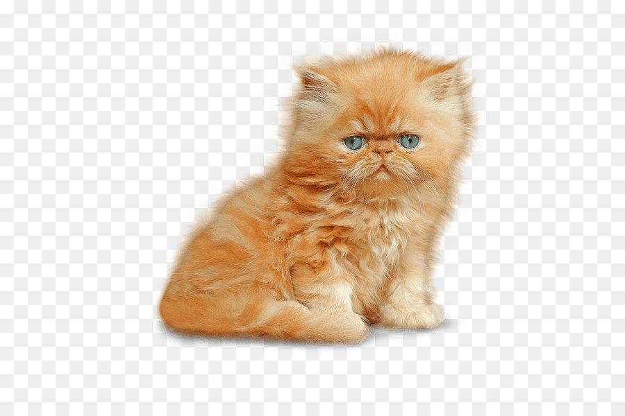 Munchkin Cat Siamese Cat Kitten Dog Kitten Png Image Png