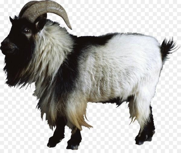 Boer goat Nigerian Dwarf goat Cattle Sheep Feral goat