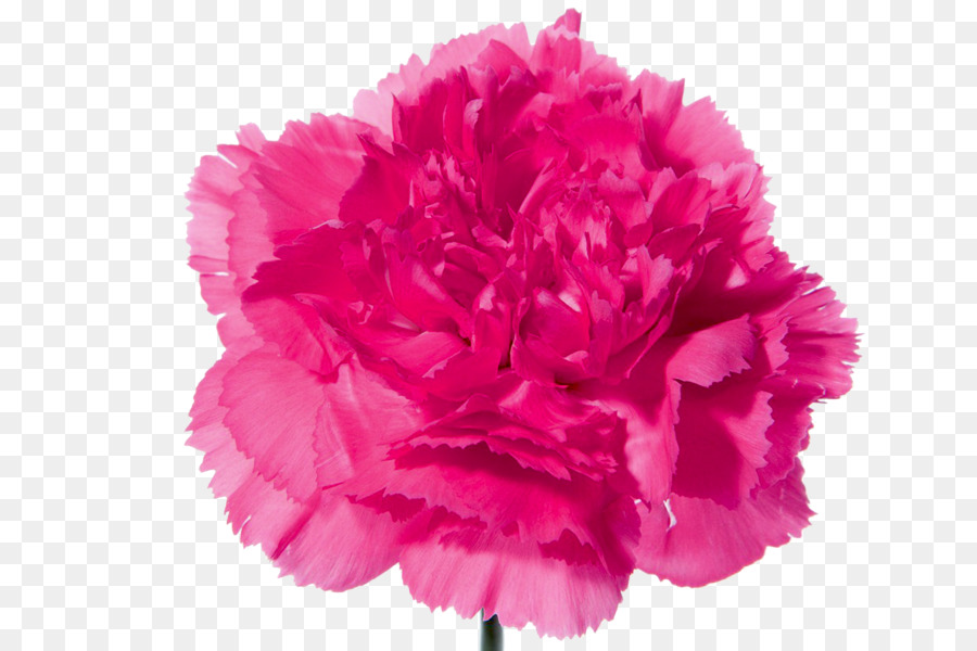 Carnation Flower bouquet Pink flowers   CARNATION png download     Carnation Flower bouquet Pink flowers   CARNATION