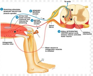 Reflex arc Stretch reflex Patellar reflex Anatomy  cranial nerve png download  1407*1126
