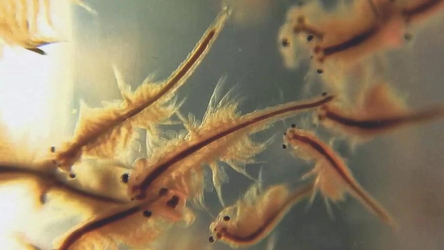 super easy diy brine shrimp hatchery w care guide tips