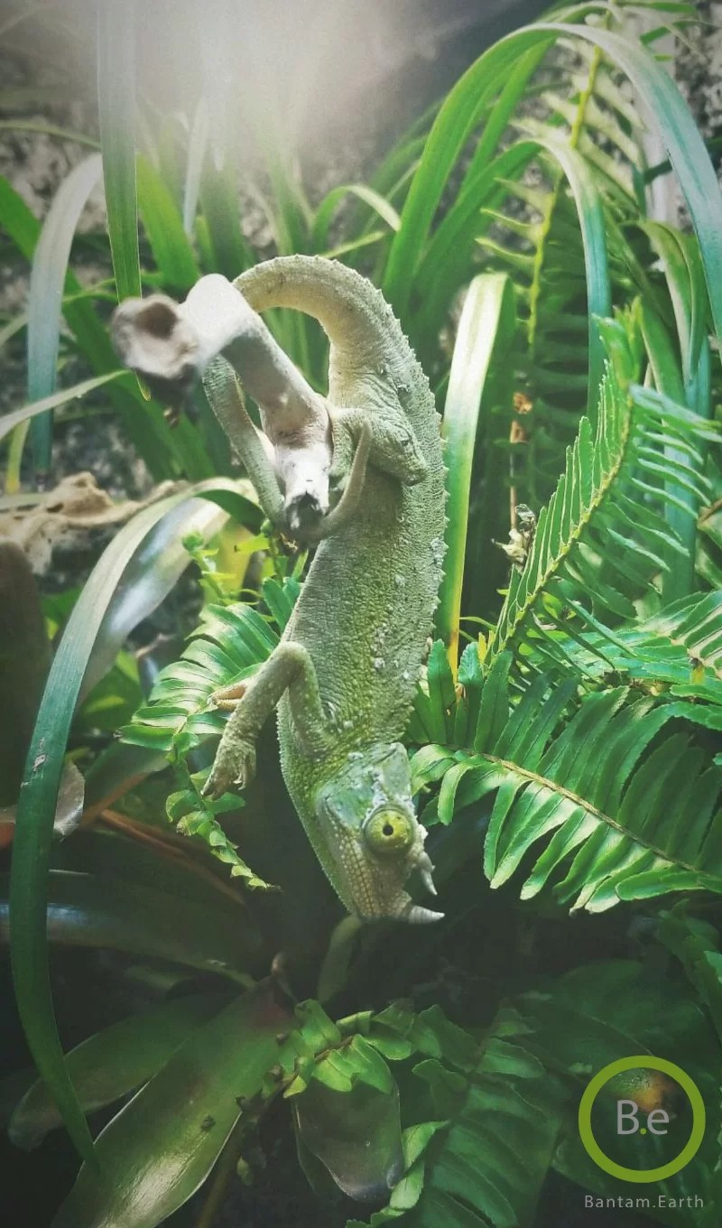 male Jackson chameleon hanging on a branch - contact page