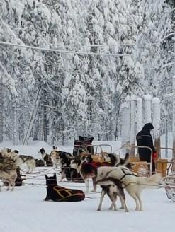Laponya'da Husky Safari