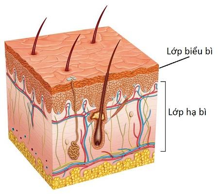 Giải phẫu da