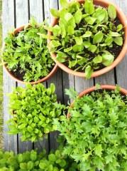 Blandað salat, mizuna, klettasalat og spínat
