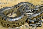 En el limbo aparición serpientes pitones