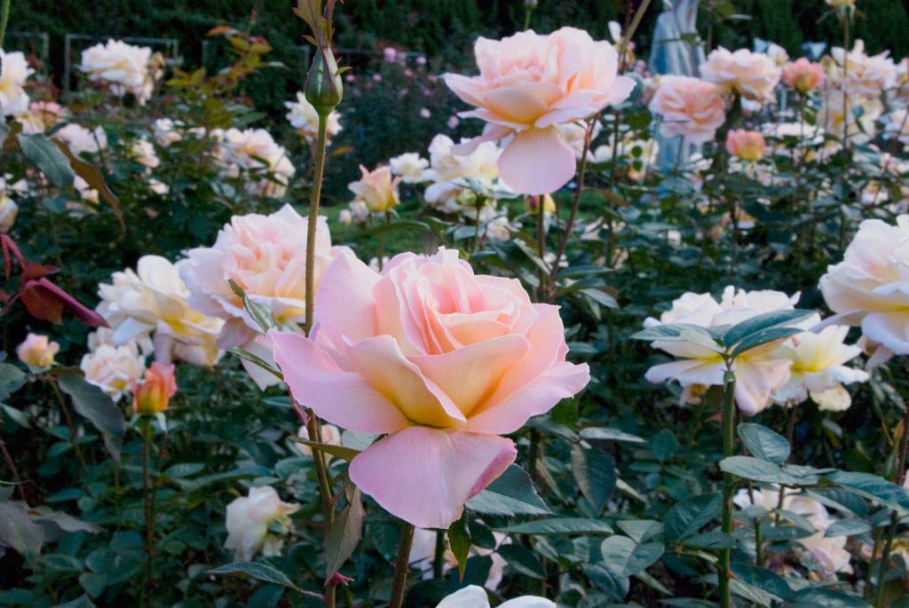 東武トレジャーガーデン館林 バラ見ごろ