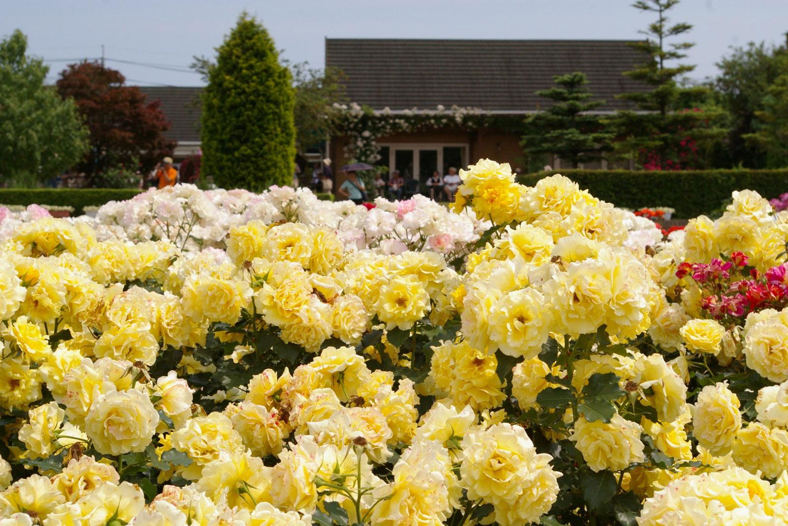 茨城県フラワーパーク バラ見ごろ