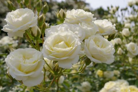 旧古河庭園のバラの見ごろやバラまつりとバラ園情報