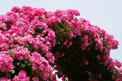 レストラン栗の里ローズガーデン バラ見ごろ