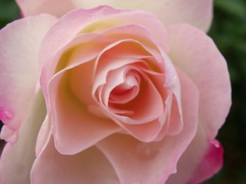 福岡市植物園 バラ見ごろ