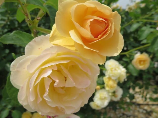 谷津バラ園のバラの見ごろやバラまつりとバラ園情報