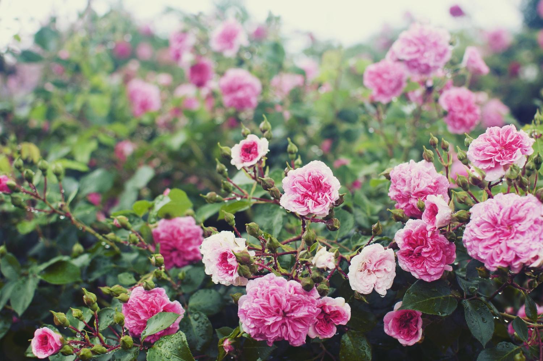 秋留台公園 バラ見ごろ