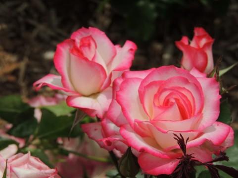 松江イングリッシュガーデン バラ見ごろ