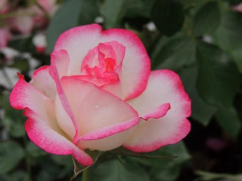 大野町バラ公園 のバラの見ごろやバラまつりとバラ園情報 ...