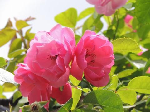 野津田公園 バラ見ごろ
