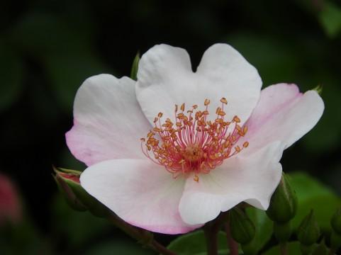 佐倉草ぶえの丘バラ園 バラ見ごろ