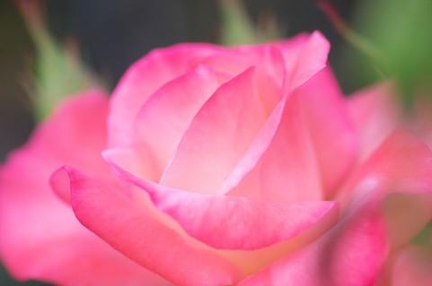 世羅高原花の森 バラ見ごろ
