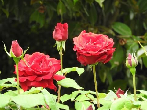 二宮家バラ園 バラ見ごろ