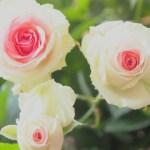 河口湖オルゴールの森 バラ見ごろ