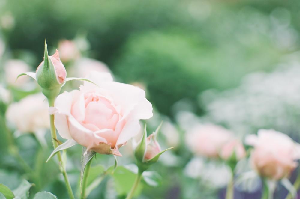 佐藤梨園のローズガーデン バラ見ごろ