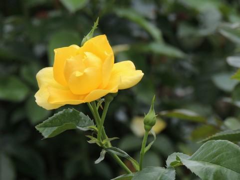蜂ヶ峯総合公園 バラ見ごろ