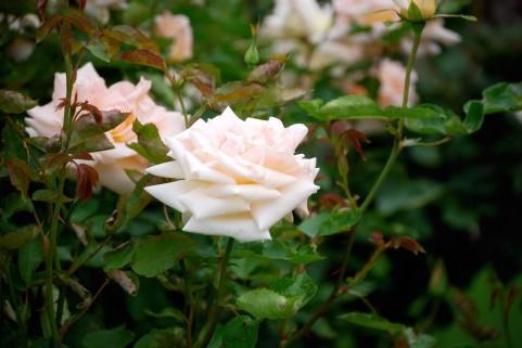 太陽ローズガーデンのバラの見ごろやバラまつりとバラ園情報
