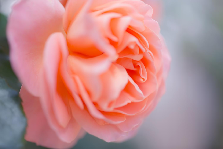 ローズガーデンゾロ バラ見ごろ