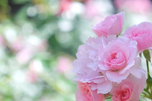 鶴舞公園 バラ見ごろ