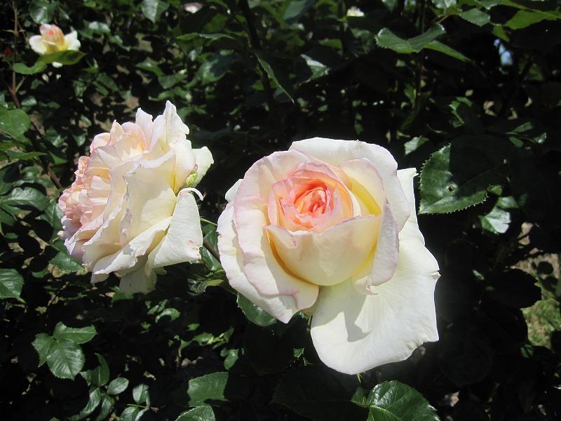 南部丘陵公園 バラ見ごろ