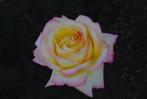 神宮ばら園のバラの見ごろやバラまつりとバラ園情報