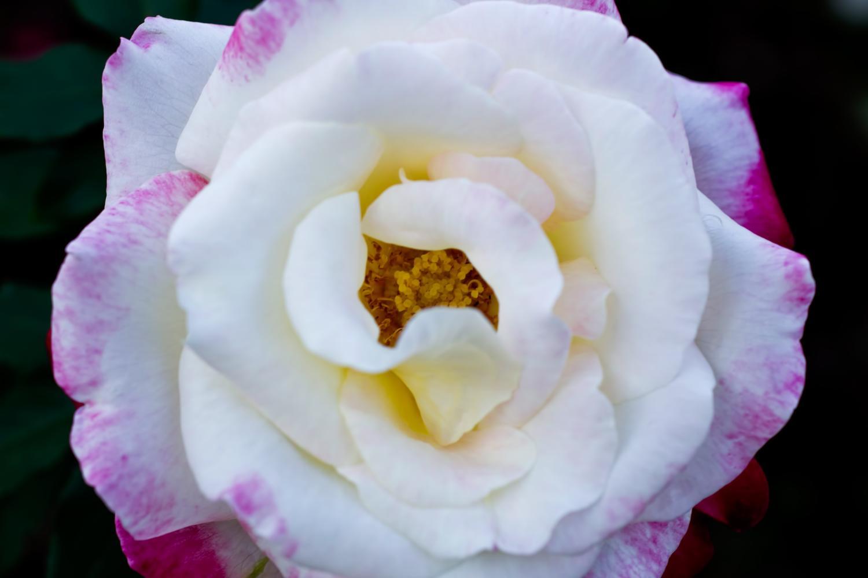 ラグーナテンボス ラグナシア バラ見ごろ