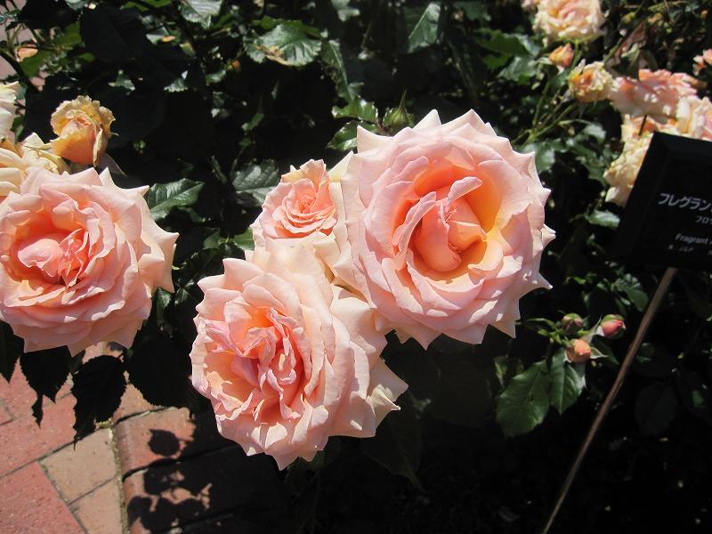 あづみ野バラ園 バラ見ごろ