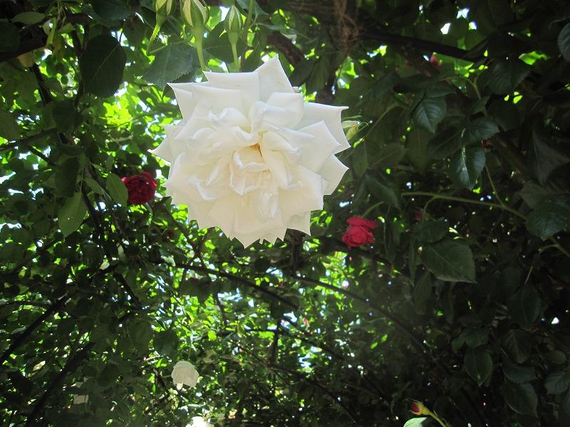 最上川ふるさと総合公園 バラ見ごろ
