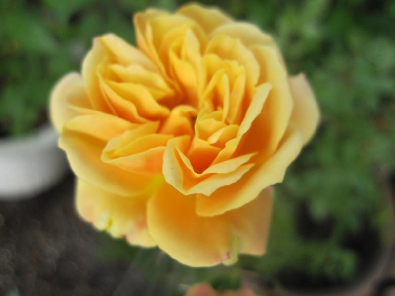 花咲きファーム バラ見ごろ