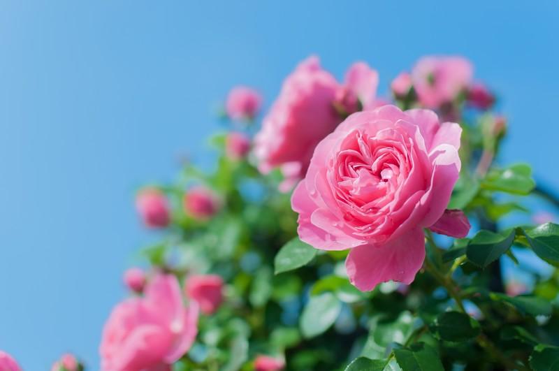 レッドヒル ヒーサーの森 バラ見ごろ